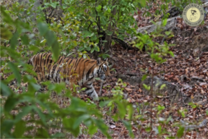 tiger-reserve-in-india
