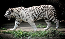 White Tiger in India
